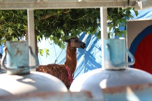 Not so much a tiger in your tank, but a llama in your gas bottle