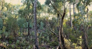 Cork and Australian eucalypt grow side by side in the hills