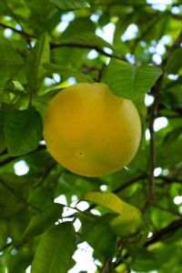We are still waiting for this grapefruit to be ready