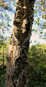 When you touch the bark it even feels like cork on the outside