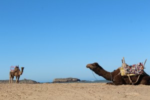 Camels on the beach at Essaouira