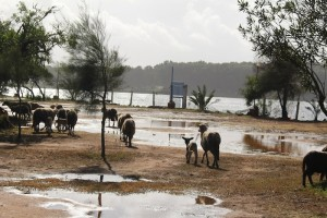 Even the sheep thought the camp at Moulay Bouselham was too muddy