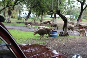 Sheep are herded through the campsite twice a day
