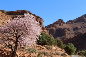 A sweet almond welcome to the start of the Ait Mansour Gorge