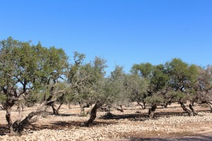 Argan trees grow wild, even if they looked cultivated and organised