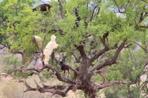 How many goats can you get into an Argan tree?