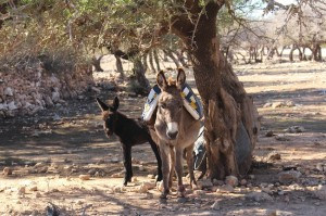 The donkeys shade under the Argan trees between carting the nuts to be processed