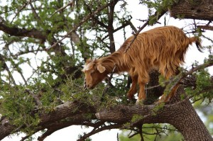 They say only goats are allowed to climb the Argan trees