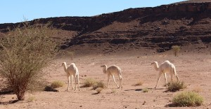 Too cute - wild white baby camels