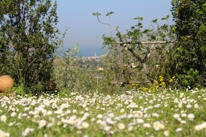 Lazy daisy days in Livorno