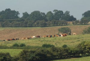 Cows in the fields