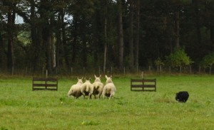 These sheep are going full tilt - which can lose points if technique goes full tilt with them