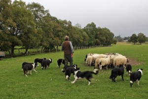 Most shepherds would only use one or two dogs for herding