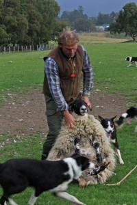 Neil is also a full-time shepherd and can swing a big fat ewe like a bag of feathers