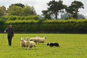 Splitting the sheep herd is not nearly as easy as it looks