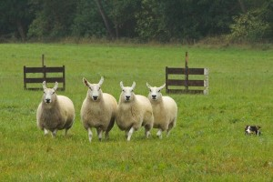 The dogs are not allowed to touch the sheep but herd them from a distance