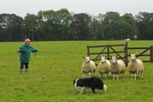 These sheep were stubborn as mules,  and eventually ran out the clock on Vivian and her dog.