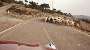 Sardinian sheep dogs do all the work without the shepherds here