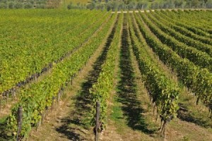 Vines heavy with grapes as far as the eye can see in Chianti