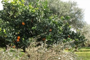 Clementines grow in the olive grove and make a refreshing energy boost