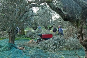Framed by the branches, the olive pickers get to work