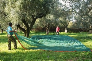 Nets are laid under the trees to catch the olives
