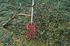 The cheery red trident is used to bash the olives off the branches