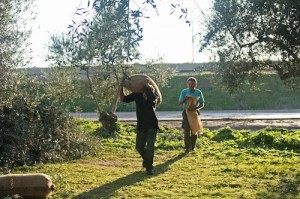 The olive pickers are incredibly strong