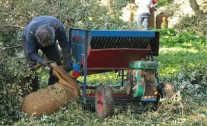 The olive threshing machine feeds the olives straight into the bag
