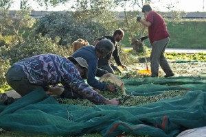 The olives are bagged into 50kg sacks