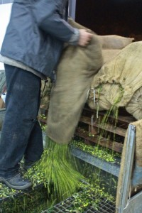 The olives are poured into the hopper by the sackload