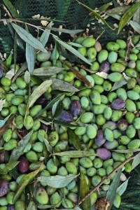 The olives for oil are smaller than the famous Kalamata olives for eating