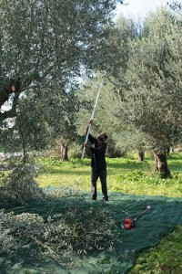 The tops of the trees are beaten with long sticks to loosen the olives