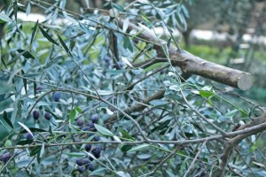 The trees are pruned to make way for new growth in the new season and more olives