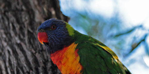 A rainbow lorikeet - just too cheery for words