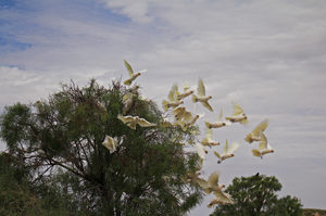 A flock of cockatoos bursts out of the trees at a waterhole