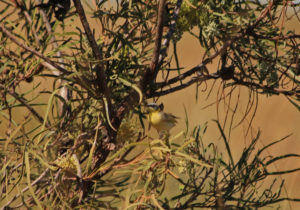 A yellow honeyeater well disguised