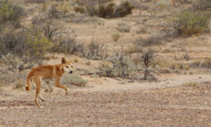 A young dingo in search of a good meal by the look of him
