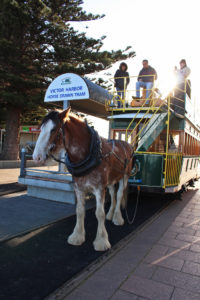 Albert the tram horse gets ready to roll