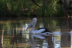Apparently pelicans only appear when the water is set to stay