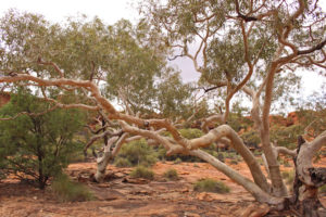 Kings Canyon is a key water source in the area and the River Gums know it