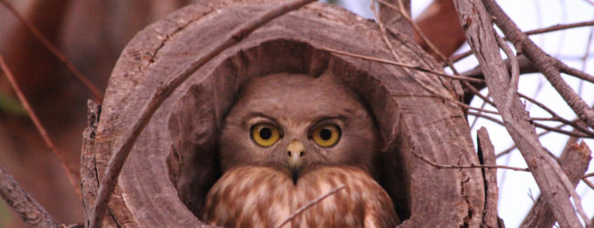 The Barking Owl as she comes out of her hollow tree nest just above our tent