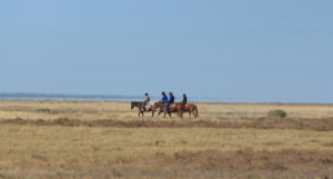 Bringing the cattle to muster stations en-route to Exmouth