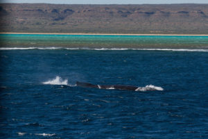 One of the many humpback whales we saw