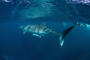 The beautiful whaleshark with us on the far right