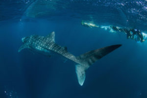 Their spots are their fingerprint; each whale shark's marking are unique