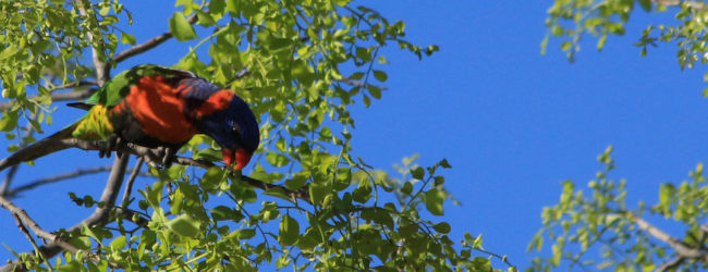 A merrily munching Rainbow Lorikeet